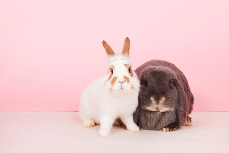 lop lop rabbit white: White rabbit and French lop together on pink background