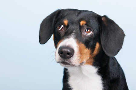 sennenhund: Ritratto di un Entlebucher Sennenhund su sfondo blu