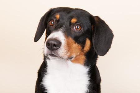 sennenhund: Portrait of an Entlebucher Sennenhund on cream colored background