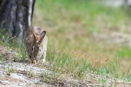 european rabbit: Common European rabbit in sand dunes Stock Photo