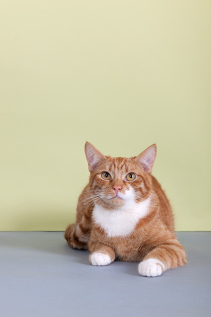 Red tabby cat is sitting on green background photo