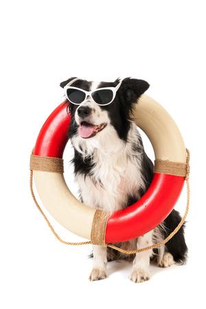 白い背景に分離された救助ビーチ警備犬としてボーダーコリー 写真素材