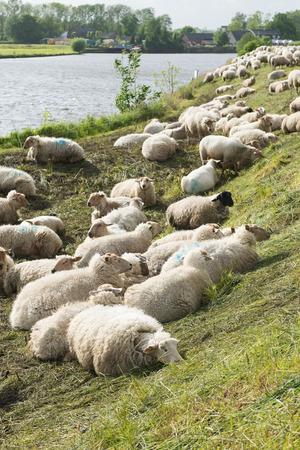 Many sheep on the Dutch dyke