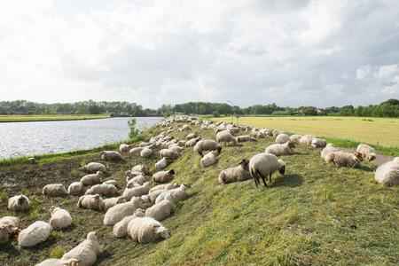 tortillera: Muchas ovejas en el dique holand�s Foto de archivo