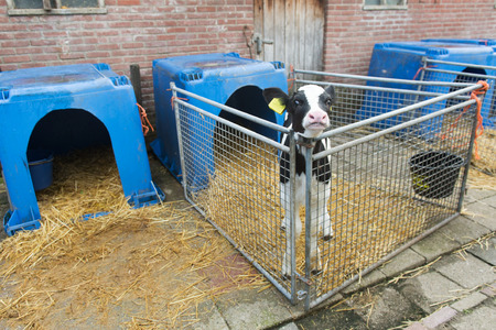 Young calf in cage at the farm photo