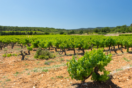 the luberon: Landscape with vineyards in French Luberon Stock Photo