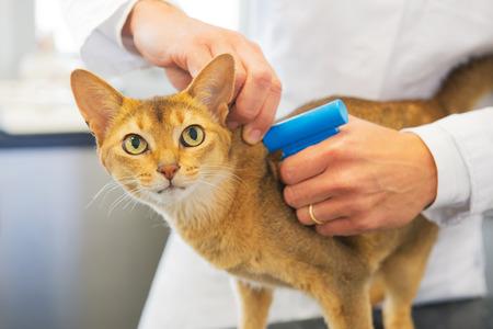マイクロ チップは獣医師による猫をインプラントします。
