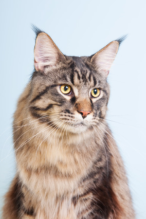 pedigree: Portrait pedigree Maine Coon cat on blue Stock Photo