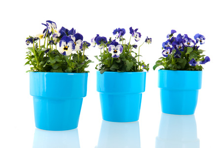 Blue pansy plants with flowers in pot photo