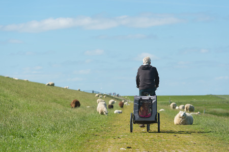 dike: Dutch dike with sheep and man with dog car and bike at the wadden island Terschelling