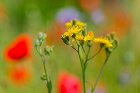 compositae: Asteraceae or Compositae in nature