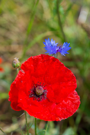 Red poppy and blue corn flowers photo