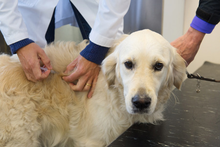 Golden retriever is getting vaccination by the veterinarian