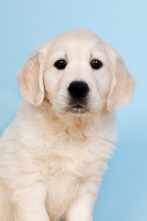 retreiver: Puppy Golden Retreiver on blue background