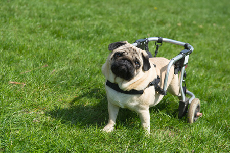 Handicapped pug dog with wheels