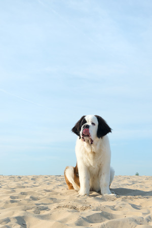 st  bernard: St. Bernard puppy at the beach