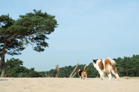 Beagle and St. Bernard playing outdoor in nature landscape photo