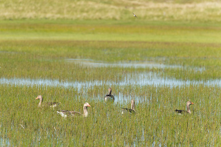 wadden: Greylag gooses at Dutch wadden island Terschelling