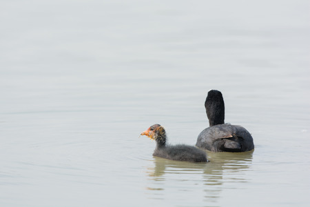 coot: Eurasian Coot with gosling swimming in water Stock Photo