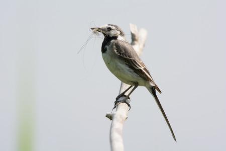 wagtail: Ballerina bianca con materiale nido