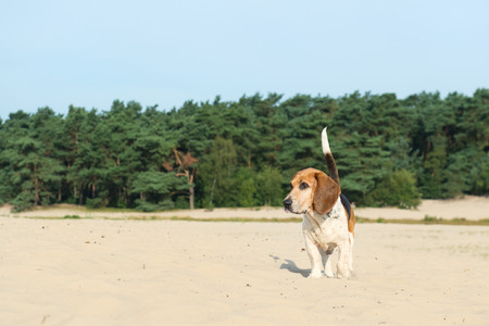 soest: Beagle outdoor in nature landscape