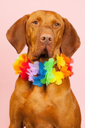 Hungarian or Magyar Vizsla with colorful flower wreath isolated over blue background photo