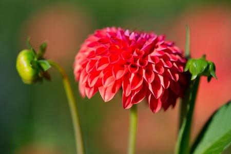 pompon: Red Pompon dahlia in sunshine