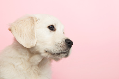 retreiver: Puppy Golden Retreiver on pink background