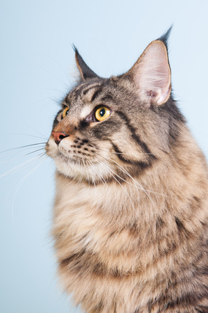 Portrait pedigree Maine Coon cat on blue photo