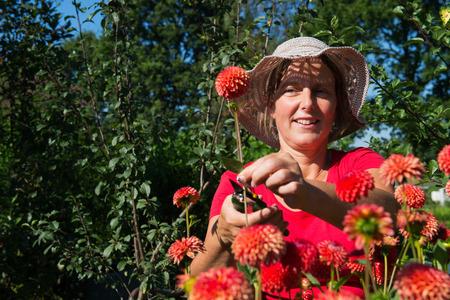Woman picking red Dahlias in garden photo