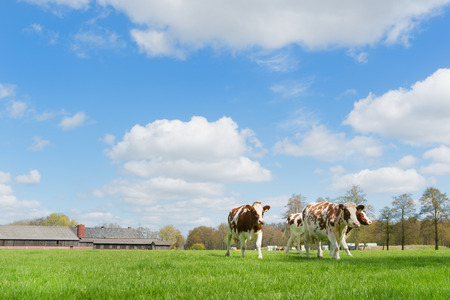 Brown and white cows in Dutch landscape