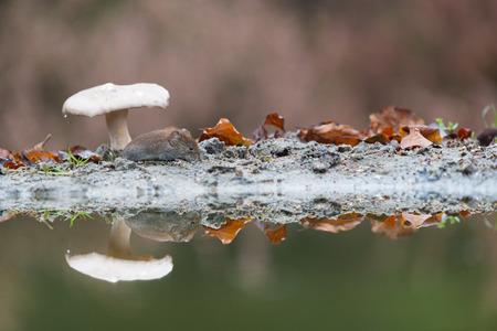 vole: Veldmuis muis onder paddestoel in de herfst