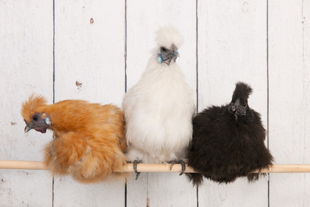 silkies chickens in henhouse on stick photo