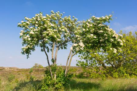 sorbus: White flowers in the bloomin sorbus