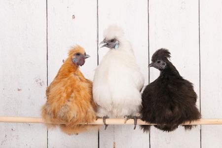 henhouse: silkies chickens in henhouse on stick Stock Photo