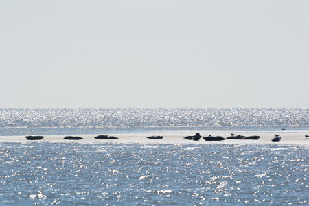 wadden: Seal in Dutch wadden sea Stock Photo