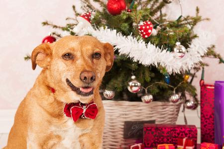 breed: Cross breed dog with Christmas tree Stock Photo