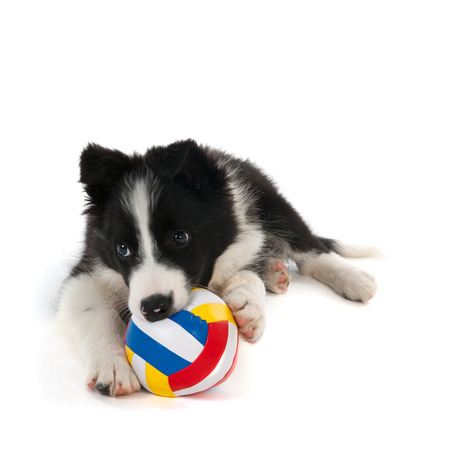 pets background: Border Collie puppy playing with ball in studio isolated over white background