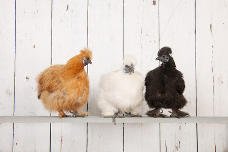 henhouse: silkies chickens in henhouse on stick Stock Photo