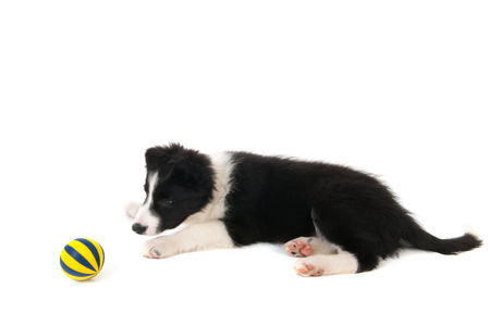 border collie puppy: Border Collie puppy in studio isolated over white background