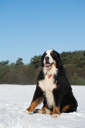 sennenhund: Berner Sennenhund seduta neve