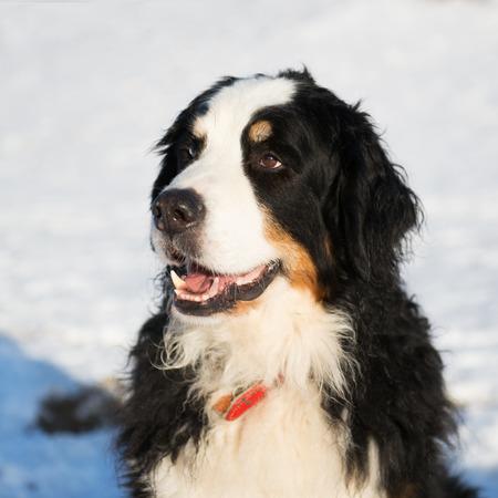 sennenhund: Portrait Berner Sennenhund in snow Stock Photo