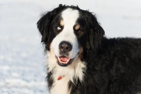 sennenhund: Portrait Berner Sennenhund in snow with one blue eye