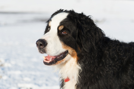berner: Portrait Berner Sennenhund in snow Stock Photo