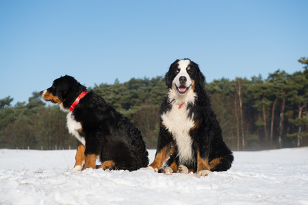 sennen: Pair Berner Sennnehunden in snow landscape