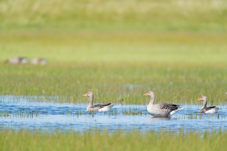 Swimming gooses in seepage