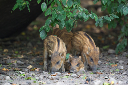 scrofa: Resting young wild pigs