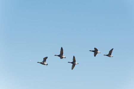 brent: Group brent gooses flying in blue sky