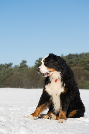 berner: Berner Sennenhund sitting in snow