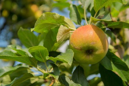 Appelboomgaard met rijpe appels aan de bomen
